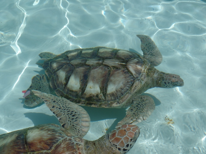 Turtles from the Grand Cayman Sea Turtle Farm